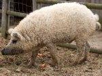 Porco-ovelha